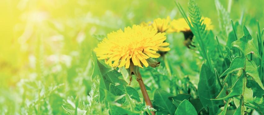 Alla riscoperta delle erbe selvatiche: Il Tarassaco
